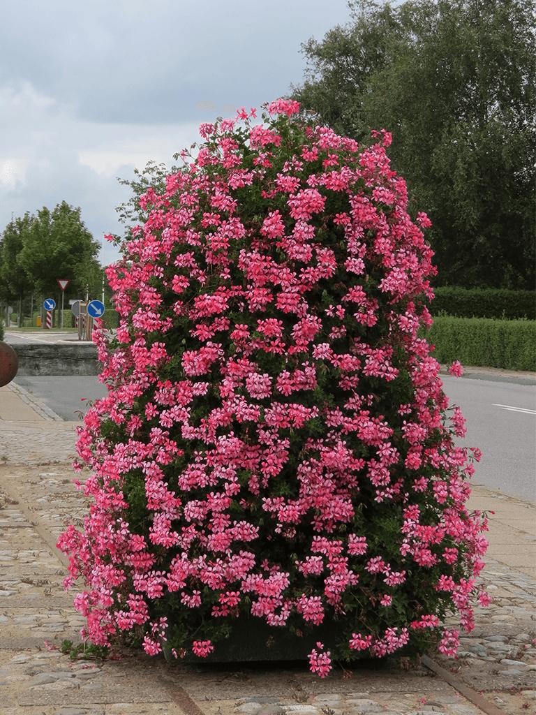 voorburg roze 2